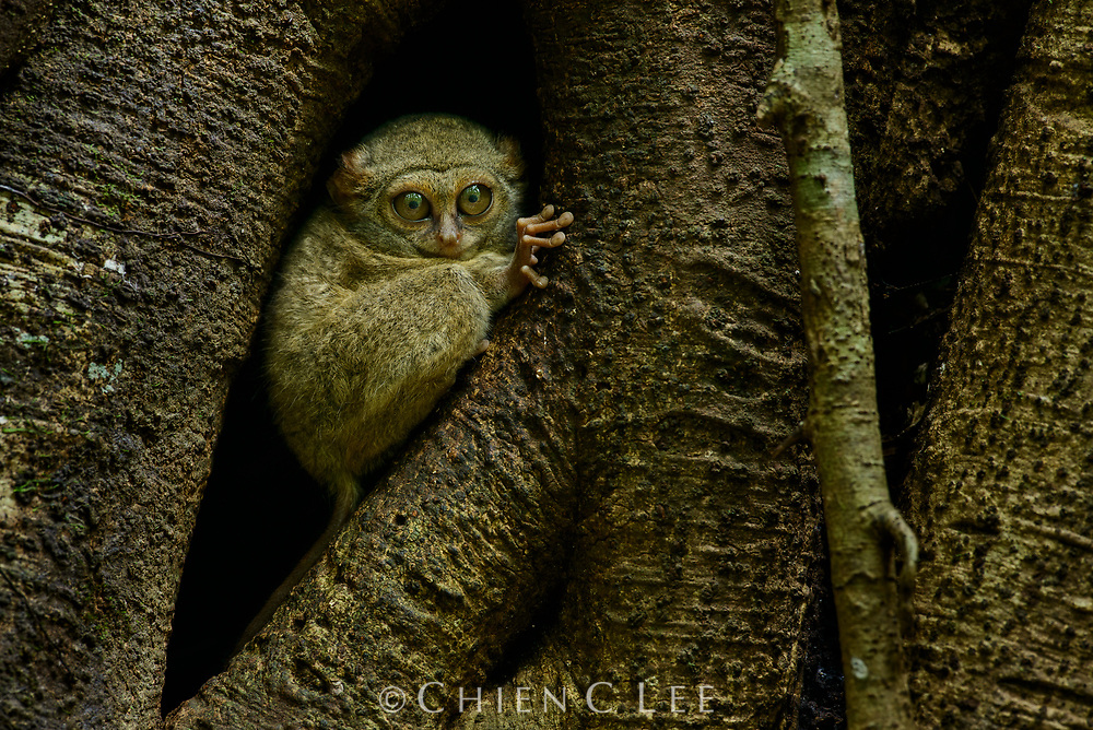 A Gursky's Spectral Tarsier (Tarsius spectrumgurskyae) perches outside of its tree hole roost. These tiny nocturnal primates emerge every evening to hunt for insects. Tangkoko Nature Reserve, North Sulawesi, Indonesia.