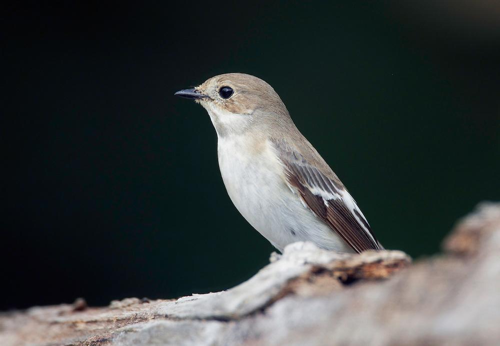 Pied Flycatcher (Ficedula hypoleuca) Pusztaszer Nature Reserve, Hungary