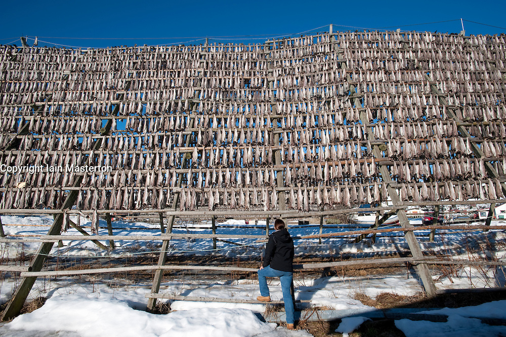 Drying cod to produce traditional stockfish on outdoor A frame racks in Svolvaer in Lofoten Islands in Norway