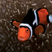 Unusually patterned clown anemonefish (Amphiprion percula), missing the orange patch on its anterior dorsal area just behind the white stripe. This photograph is a film scan.