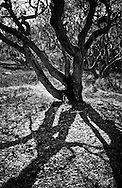 The dramatic branches of a coast live oak tree cast deep tangled shadows in the woods of Monterey Bay, California