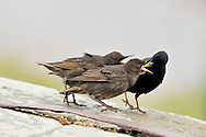 Starling - Juveniles being fed by parent Sturnus vulgaris L 20-22cm. Familiar urban and rural bird with swaggering walk. Forms large flocks outside breeding season. Sexes are separable in summer. Adult male in summer has dark plumage with iridescence seen in good light. Legs are reddish and bill is yellow with blue base to lower mandible. Adult female in summer is similar but has some pale spots on underparts and pale yellow base to lower mandible. Winter adult (both sexes) has numerous white spots adorning dark plumage and dark bill. Juvenile is grey-brown, palest on throat; bill is dark; spotted body plumage acquired in winter. Voice Varied repertoire of clicks and whistles including mimicry. Status Widespread and common but declining. Found in all kinds of open habitats in winter. Often nests in house roofs.