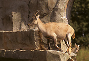 Alpine ibex Juvenile and female on a cliff