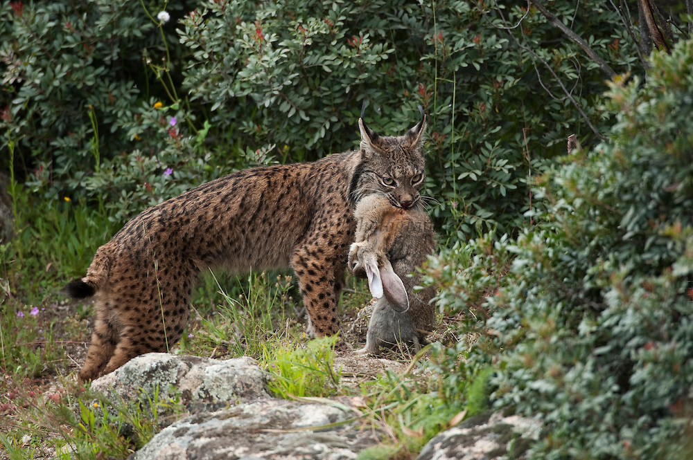 Iberian Lynx (Lynx pardinus) female with rabbit.<br /> Sierra de Andújar Natural Park, Mediterranean woodland of Sierra Morena, north east Jaén Province, Andalusia. SPAIN<br /> RANGE: Iberian Penninsula of Spain & Portugal.<br /> CITES 1, CRITICAL - DANGER OF EXTINCTION<br /> Fewer than 200 animals in the wild. There is a reduced genetic variability due to their small population. They have suffered due to hunting, habitat loss and road accidents, but the most critical threat today is the reduced numbers of wild Rabbits (Oryctolagus cuniculus) within the lynx's range. The rabbits are the principal food source of the lynx and they are suffering from deseases such as Myxomatosis & Rabbit haemoragic virus. The lynx is also suffering from deseases such as feline leukaemia<br /> A medium sized cat weighing 12-15kgs, Body length 90cm, Shoulder height 45-50cm. They have a mottled fur pattern, (3 varieties of fur pattern found between the different populations and distinguishing them geographically)  short tail, ear tufts and are bearded. They are territorial cats although female cubs have been found to share their mother's territory. Mating occurs in Dec/Jan and cubs born around April. They live up to 13 years.<br /> <br /> Mission: Iberian Lynx, May 2009<br /> © Pete Oxford / Wild Wonders of Europe<br /> Zaldumbide #506 y Toledo<br /> La Floresta, Quito. ECUADOR<br /> South America<br /> Tel: 593-2-2226958<br /> e-mail: pete@peteoxford.com<br /> www.peteoxford.com