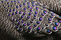 Grey peacock-pheasant bird, Polyplectron bicalcaratum, close up of the feathers while the peasant is walking through the forest at Tongbiguan nature reserve, Dehong Prefecture, Yunnan Province, China