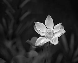 Lotus, nelumbo, pink #10