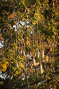 Low angle view of Sausage Tree branches (Kigelia africana), South Luangwa National Park, Zambia
