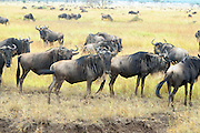Herd of white bearded (or brindled or Blue) wildebeest (Connochaetes taurinus). Photographed in Tanzania
