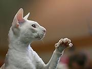 Pedigree hairless Cat - white Cornish Rex. The Cornish Rex has no hair except for down.