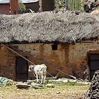 South America, Bolivia, Pariti. Calf on farm on Pariti Island.