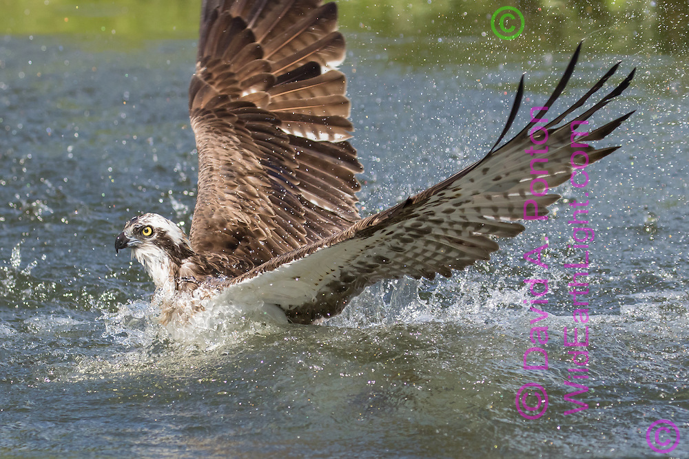 Osprey makes a powerful wing stroke, shedding water and starting up out of a pond after striking a fish, © David A. Ponton