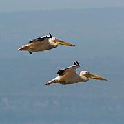 White Pelican (Pelecanus onocrotalus) In flight. Lake Nakuru National Park. Kenya. Africa.