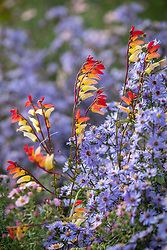 Ipomoea lobata syn. Mina lobata - Spanish Flag - growing over Symphyotrichum 'Little Carlow' (cordifolium hybrid) AGM - Michaelmas daisy (JB thinks so but check id)
