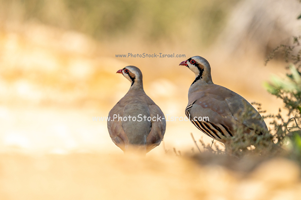 Chukar Partridge or Chukar (Alectoris chukar) Photographed in Israel, Near a water pool Negev desert. A Palearctic upland gamebird in the pheasant family Phasianidae. It has been considered to form a superspecies complex along with the rock partridge, Philby's partridge and Przevalski's partridge and treated in the past as conspecific particularly with the first. This partridge has well marked black and white bars on the flanks and a black band running from the forehead across the eye and running down the head to form a necklace that encloses a white throat. The species has been introduced into many other places and feral populations have established themselves in parts of North America and New Zealand. This bird can be found in parts of the Middle East and temperate Asia.