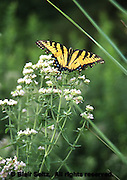 Tyler Arboretum, Butterfly on Mountain Mint, pycnanthemum sp, Philadelphia gardens and arboretums, Delaware Co., PA