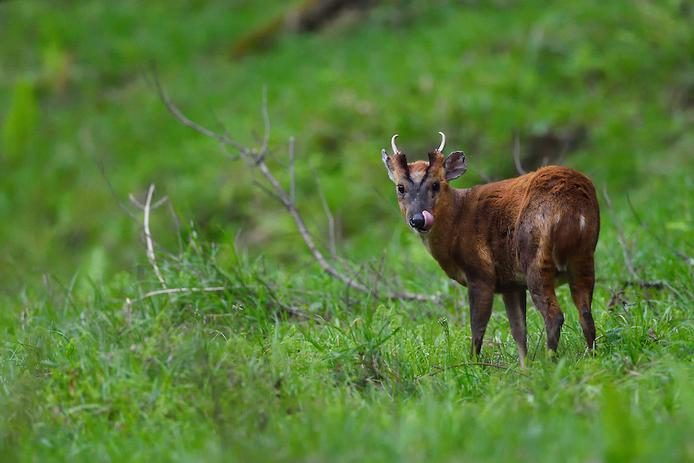 Reeves's muntjac, Muntiacus reevesi, male, Tangjiahe National Nature Reserve, NNR, Qingchuan County, Sichuan province, China