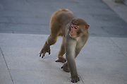 SANYA, CHINA - AUGUST 11: (CHINA OUT) <br /> <br /> Mass Propagation Of Wild Monkeys Brings More Animal Attacks <br /> <br /> A monkey searches for food at Luhuitou Park on August 11, 2014 in Sanya, Hainan province of China. Dozens of wild monkeys multiplied to over 700 at Luhuitou Park and attacked tourists especially those who carried food once in a while.<br /> ©Exclusivepix