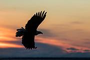 Bald eagle in Alaska at sunset