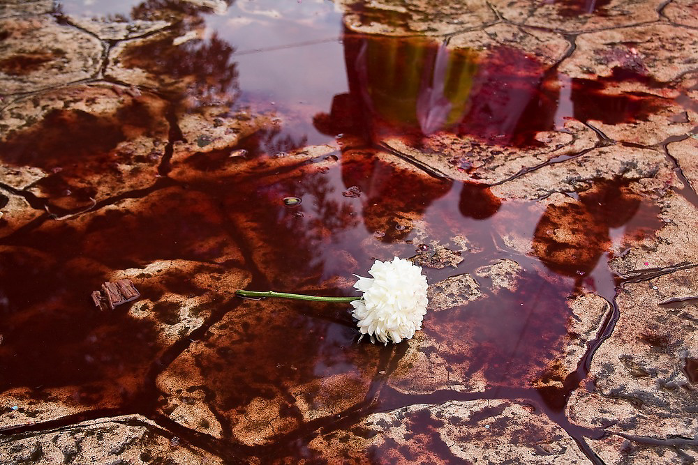 A white flower lies in a pool of blood at the ritual killing of a bull in Paracho, Michoacan state, Mexico on August 8, 2008 during the annual Feria Internacional de la Guitarra. The bull was slaughtered and used to stock the town's meat locker while butchers served beef stew to the public to conclude the parade held by the town's market vendors.