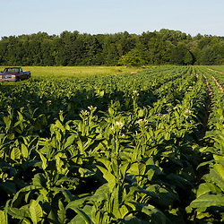 A tobacco field in Hadley, Massachusetts.  Tobacco barn.