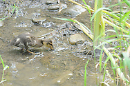 Mallard duckling getting a drink in a stream in Ithaca, NY.