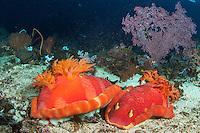 Large Spanish Dancer Nudibranchs mating<br /> <br /> <br /> Shot in Indonesia
