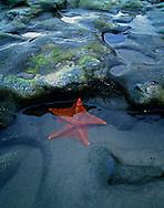 Starfish on the Pacific Coast near Pt. Reyes, California