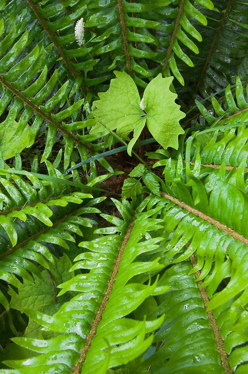 Sword fern (Polystichum munitum) and vanilla leaf (Achlys triphylla), overcast light, May, Queets Rain Forest, Olympic National Park, Washington, USA