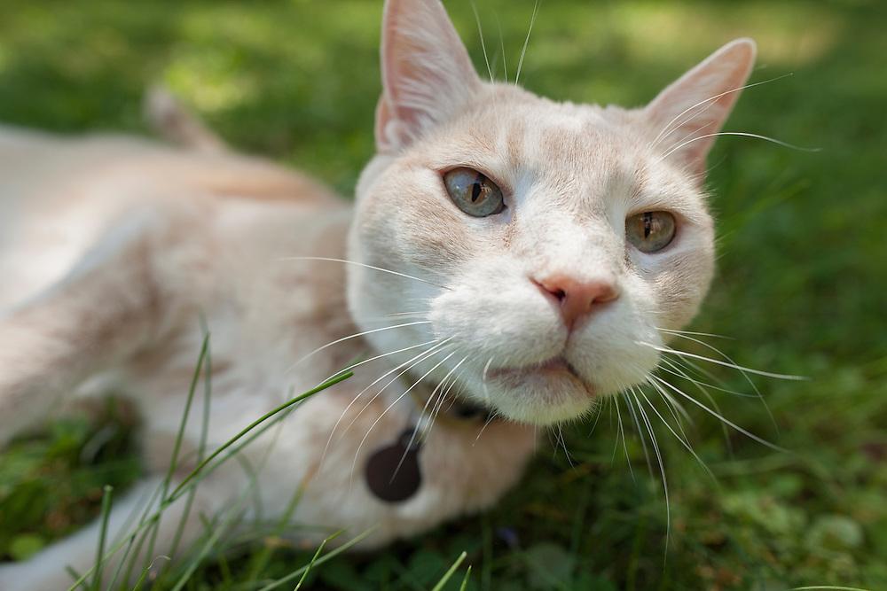 closeup of orange cat rolling around in the grass