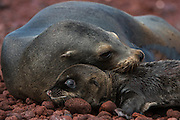 Galapagos Sealion (Zalophus wollebaeki)  <br /> Mother & new pup<br /> RABIDA ISLAND<br /> GALAPAGOS, ECUADOR. South America<br /> There are approximately 16,000 individual sealions in the archipelago and numbers are increasing. Males are much larger than females, weighing up to 250kg compared with 100kg in the females. They spend a large amount of time hauled up on sandy beaches. The males establish territories which are savagely defended from rivals. Young bachelors and unsuccessful bulls then leave the area and establish bachelor colonies on the outskirts of female haul-outs. Reproduction occurs mainly in the Garua season between July and December and will vary from Island to Island. Sealions are highly thigmotactic (seeking body contact) and loaf around in piles on the beaches. They are extremely efficient hunters, preferring sardines to other fish, so spend a considerable time resting or at play. Underwater they are well streamlined, lithe and acrobatic.<br /> ENDEMIC