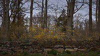 Forsythia above a stone wall. Image taken with a Leica T camera and 35 mm f/1.4 lens (ISO 100, 35 mm, f/3.2, 1/2500 sec).