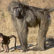 Chacma Baboon, (Papio ursinus) Young baboon stands near female. Kruger National Park . South Africa.