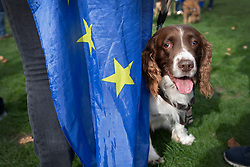 "© Licensed to London News Pictures. 07/10/2018. London, UK. Biscuit the English Springer Spaniel stands with her pro-remain owner during a rally in Parliament Square to demand a ""People's Vote"" on the final Brexit agreement.  Photo credit: Peter Macdiarmid/LNP"