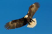 Bald ealgle in flight