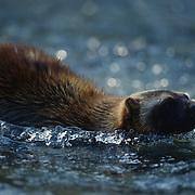 Wolverine, (Gulo gulo) In Rocky mountains. of Southwest Montana.  Captive Animal.