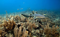 Nurse shark swims over a coral reef in Belize.