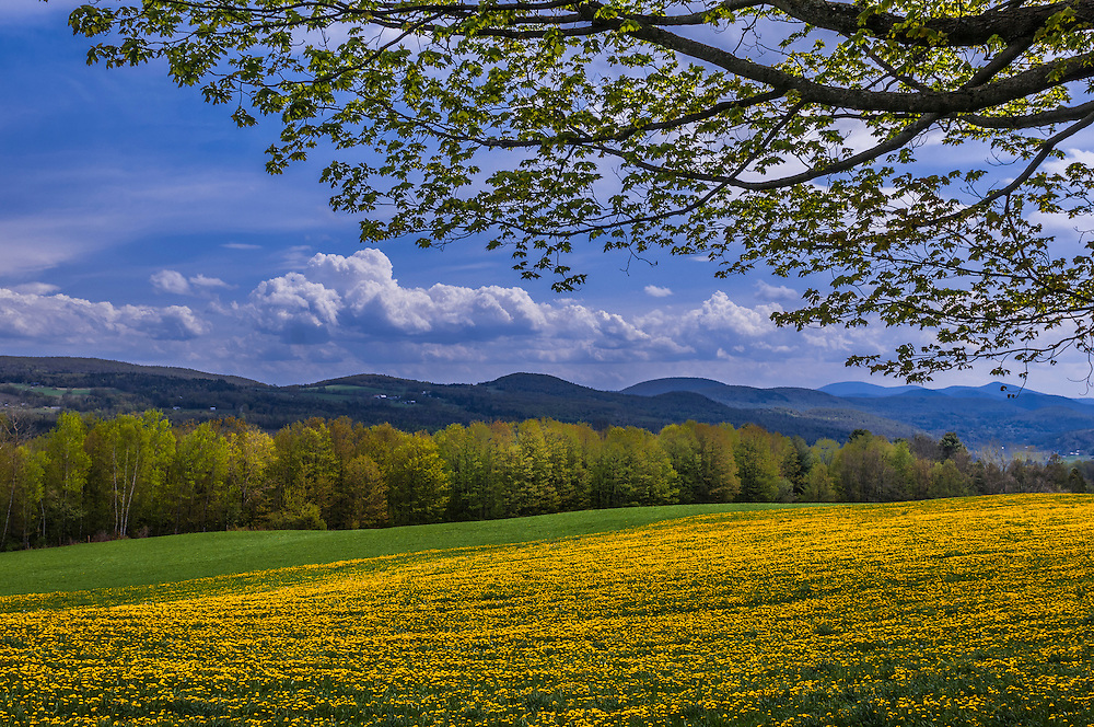 Field of dandelions and mountain ridgeline views in spring, Cabot, VT