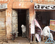 The day before Eid al-Adha in Jaipur. The rooster may be trying to warn the goat.