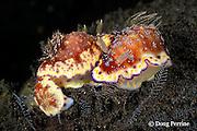 cluster of nudibranchs, or sea slugs, Chromodoris collingwoodi, probably feeding on hydroids, Tulamben, Bali, Indonesia