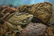 Green Frog<br /> <br /> Isaac Szabo/Engbretson Underwater Photography