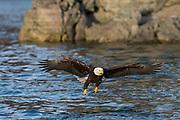 Bald eagle in Alaska