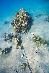 Stony coral colonies, chained and exploited for mooring, Lobe Coral, Porites lobata, Finger Coral, Porites compressa, Cauliflower Coral, Pocillopora meandrina, etc., Keauhou Bay, off Kona Coast, Big Island, Hawaii, Pacific Ocean.