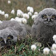 Snowy Owl (Bubo scandiacus) chicks in cotton grass. Barrow, Alaska