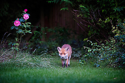 Red fox (vulpes vulpes) in a suburban, Leicester, England, UK.