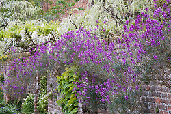 Erysimum 'Bowles' Mauve' growing in the walls at Sissinghurst Castle Garden