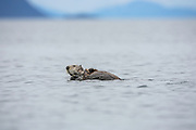 Sea otter on back swimmimng with rock in flippers