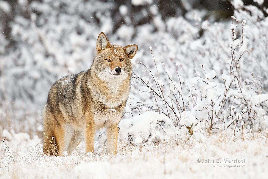 Coyote in fresh snow in Banff National Park, Alberta, Canada