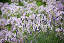 Lavandula angustifolia 'Munstead' with Allium unifolium AGM. English lavender