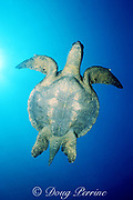 Eastern Pacific green ( black ) sea turtle, Chelonia mydas agassizi, Darwin Island, Galapagos, Ecuador ( Eastern Pacific )