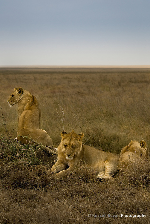 Three juvenile male lions rest at the roadside in the Serengeti National Park, Tanzania